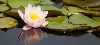 Reflections: Water Lily In A Fountain