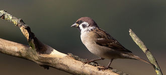 Tree Sparrow At Fairburn Ings