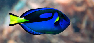 Tropical Fish: Regal (Royal Blue) Tang