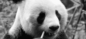 Giant Panda (Close-up)