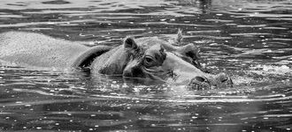 Hippopotamus Swimming at Vienna's Tiergarten