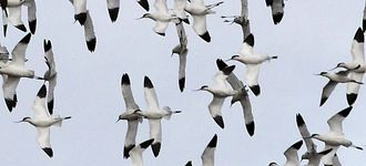 Avocets In Flight Over Blacktoft Sands