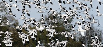 Avocet Chaos Over Blacktoft Sands