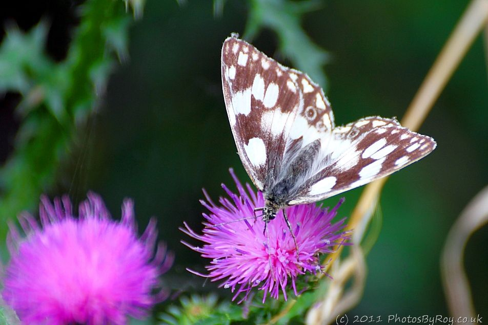 Marbled White Butterfly on Knapweed Plant