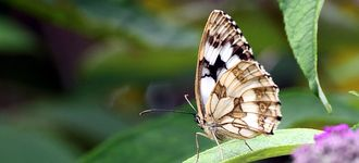 Marbled White Butterfly (Underside View)
