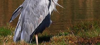Grey Heron At Leighton Moss