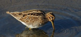 Leighton Moss: Snipe At High Tide