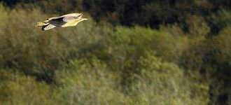 Bittern In Flight Over Leighton Moss