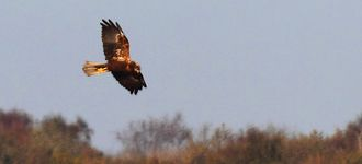 Marsh Harrier Over Leighton Moss