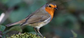 Friendly Robin At Leighton Moss