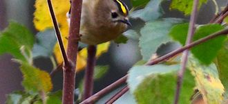 Goldcrest At Farnham Heath