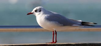 Black-headed Gull Near Titchfield Haven