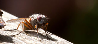 Muscid Fly With Orange Legs