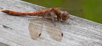 Red-Veined Darter Dragonfly On Wooden Gate