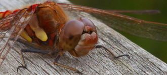 Red-Veined Darter Dragonfly (Macro Shot)