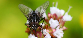 Fly Sitting on White Flowers