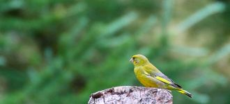 Green Finch at Dove Stone Reservoir