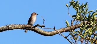 Testwood Lakes: Spotted Flycatcher