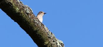 Spotted Flycatcher On The Lookout