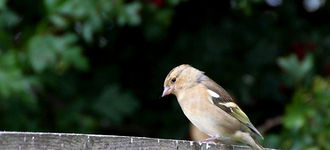 Chaffinch On Bird Table At Far Ings Nature Reserve