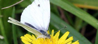 Butterfly: Large White On Yellow Flower
