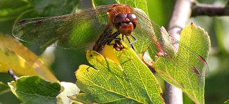 Common Darter On A Leaf At Far Ings Nature Reserve