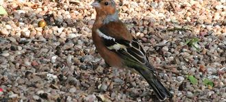 Chaffinch At Far Ings Nature Reserve