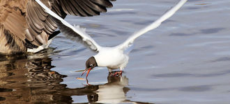Black-Headed Gull Swooping