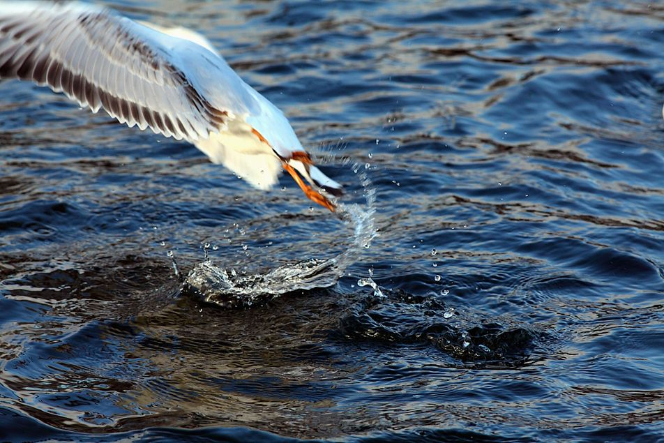 Black-headed Gull Take-off