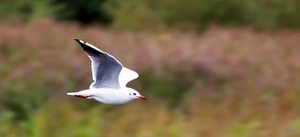 Wigan Flashes: Black-Headed Gull In Flight