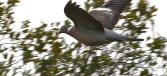 Wood Pigeon In Flight (Wigan Flashes)