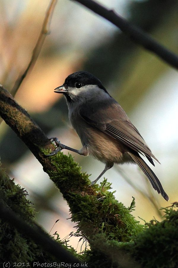 Marsh Tit At Leighton Moss RSPB Reserve