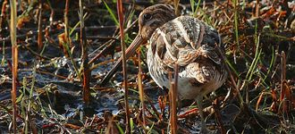 Common Snipe At Leighton Moss Reserve