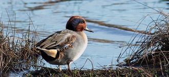Male Teal At Leighton Moss