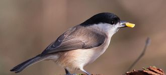 Marsh Tit With Seed At Leighton Moss