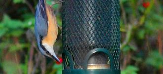 Nuthatch On Feeder At Leighton Moss