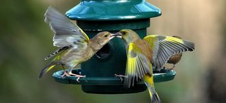 Two Greenfinches Fighting At The Feeder