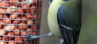 Fairburn Ings: Great Tit On Peanut Feeder
