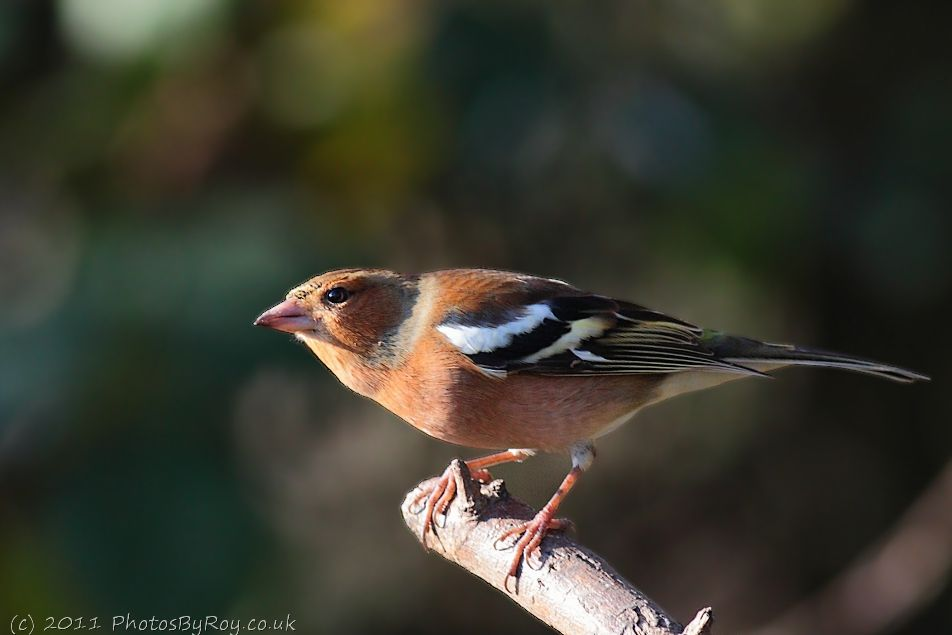 Chaffinch On A Branch At Fairburn Ings