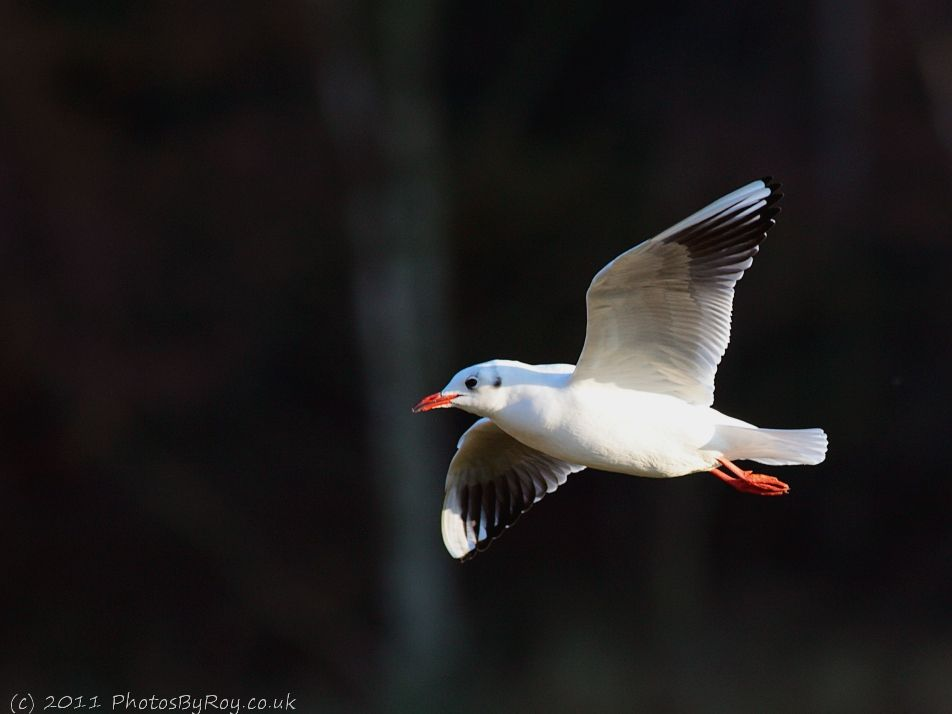 Fairburn Ings: Black-headed Gull In Flight