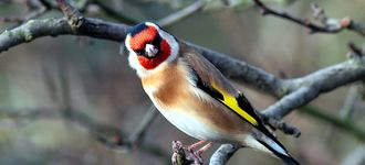 Angry-looking Goldfinch At Fairburn Ings