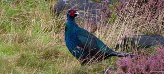 Blue Pheasant At Dove Stone Reservoir