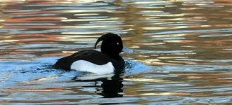 Tufted Duck At Alkrington Woods / Rhodes Lodges