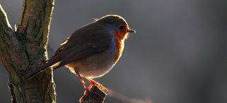 European Robin (Backlit) At Fairburn Ings