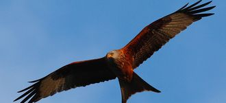 Red Kite Over Stokenchurch