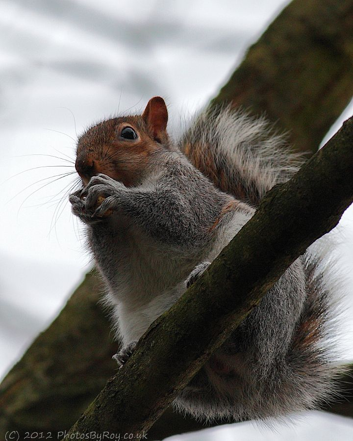 Grey Squirrel in Alkrington Woods